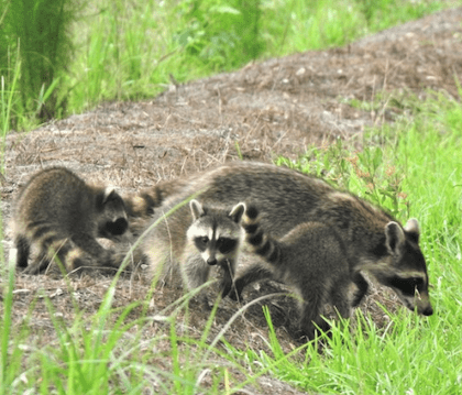 racoons_image