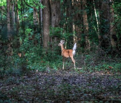 deer_image